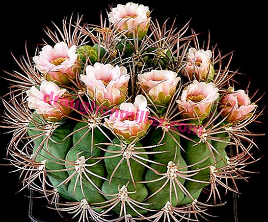 Unusual cactus hymnocalicium: species, reproduction and care at home