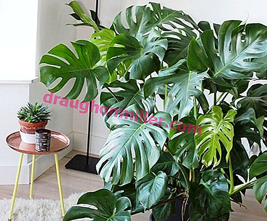 Monstera - learn to properly care for tropical vines.