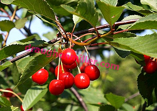 Cherries Zhivitsa - a new promising variety