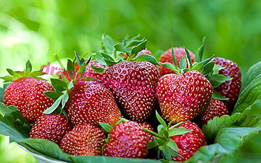How to grow strawberries Victoria: characteristics, care and prevention of diseases
