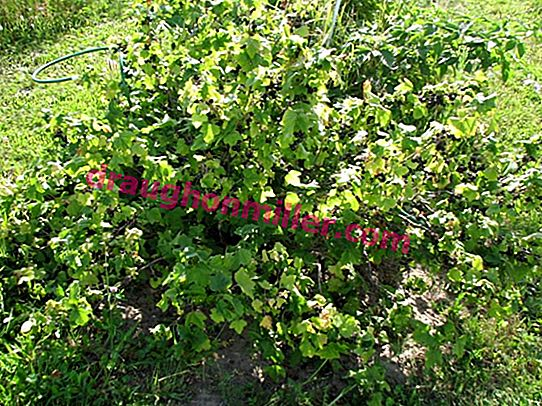 "Preventive spring treatment of currant bushes?  scientific and ""grandfather"" methods"
