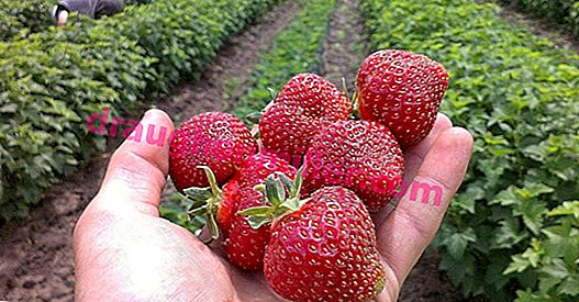 Early strawberries for Russia, Belarus and Ukraine: description and characteristics of varieties