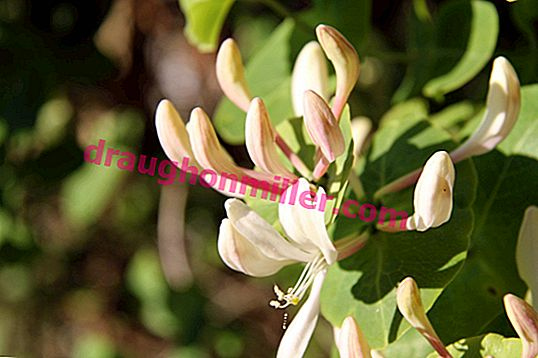 Features of honeysuckle pruning: when and how to carry out the procedure