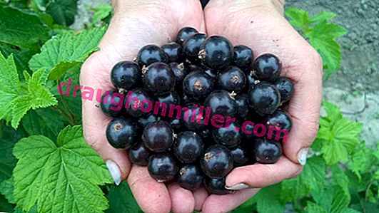 Bagira blackcurrant: how to grow a large berry variety in your garden