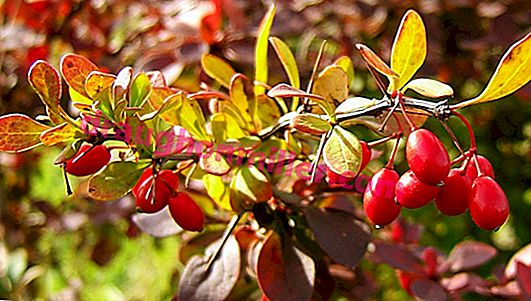 Barberry pruning: the right time, how to form a crown, curly pruning