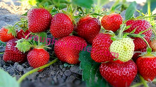 Strawberry Lambada - the history of creation, characteristics of varieties and guarantees of successful cultivation