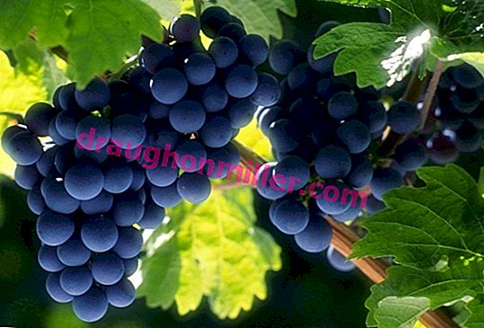 Moldova grapes - high yields, grapes for the whole winter
