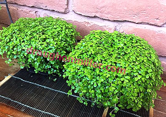 Green Balls of Salinity: Home Growing and Care