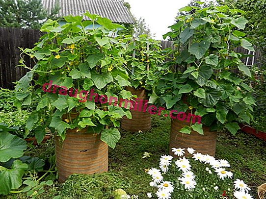 An unusual way to grow cucumbers in a barrel: how to get a good harvest?