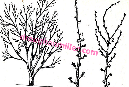 cherry pruning technology in the fall  diagrams and