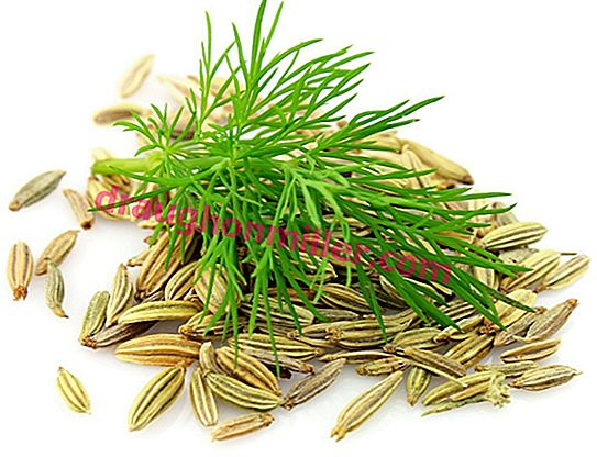 Fennel: a description of the plant and its care