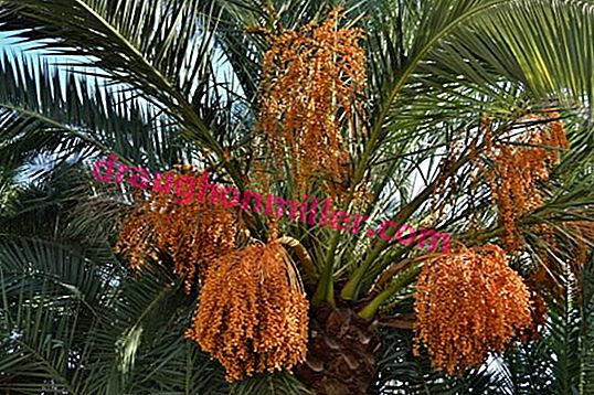 How to plant and grow a date palm from a stone at home