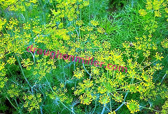 Diseases and pests of dill: control and prevention measures