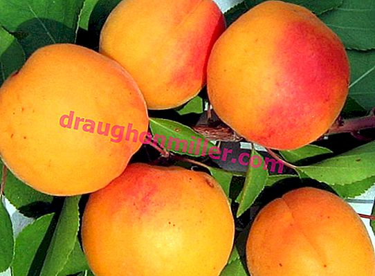 Why apricot does not bear fruit: the main causes and methods of dealing with the problem