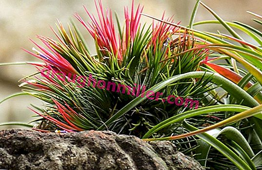 Such a different tillandsia: how to care for a moody plant