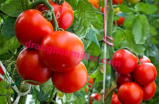 Energy - tomatoes with large fruits, not tops!