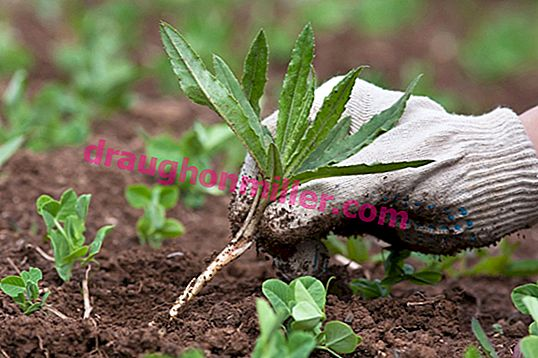 What benefits and harm do weeds bring + how to make fertilizer out of them