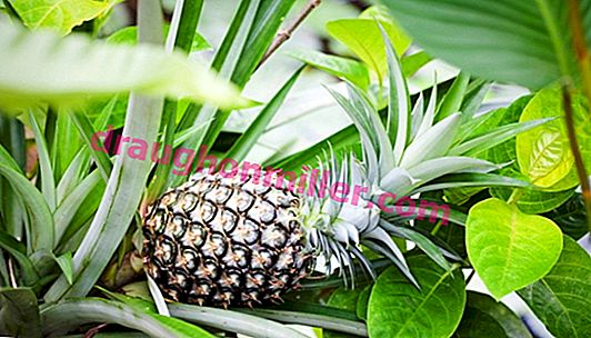 Pineapple: planting, caring and hope for success