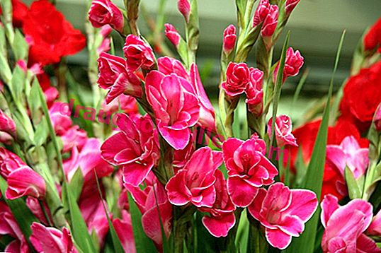 The majestic flower in the flowerbed - 25 photos of gladioli in landscape compositions