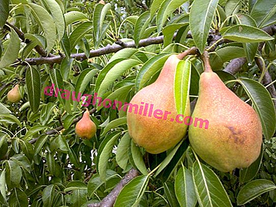 Pear planting in spring and autumn in the suburbs