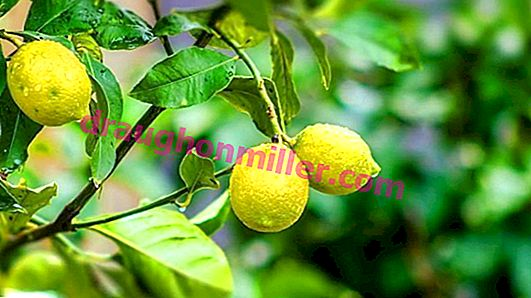 Lemon should be yellow, not its leaves
