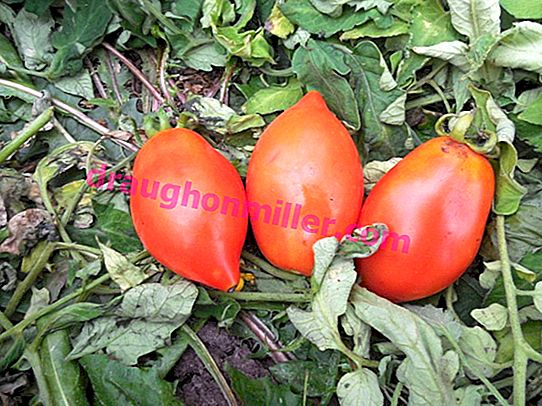 Tomato Rocket: a variety tested for decades