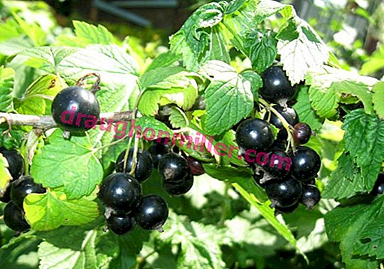 Currant planting: how and when is it best to do