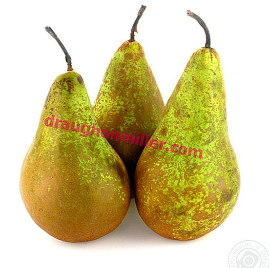 Pear Conference - an old, popular variety