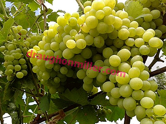 Aleshenkin grape variety - a choice for Russian conditions