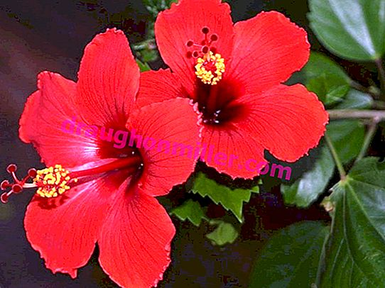 Hibiscus or Chinese rose - a curiosity of home decor