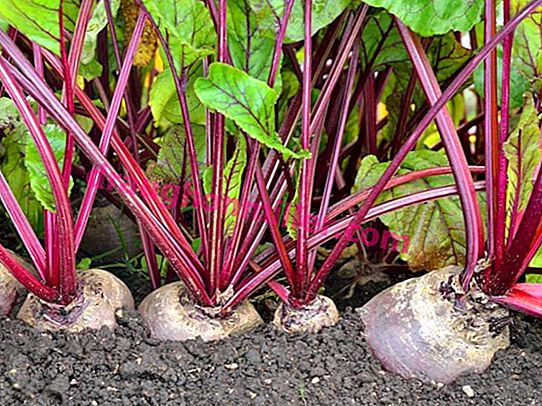 Growing beets in open ground and in a greenhouse