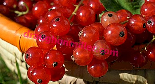 Redcurrant: the main stages in the cultivation and care