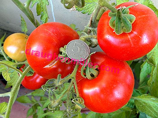 Siberian precocious - cold-resistant early tomato variety