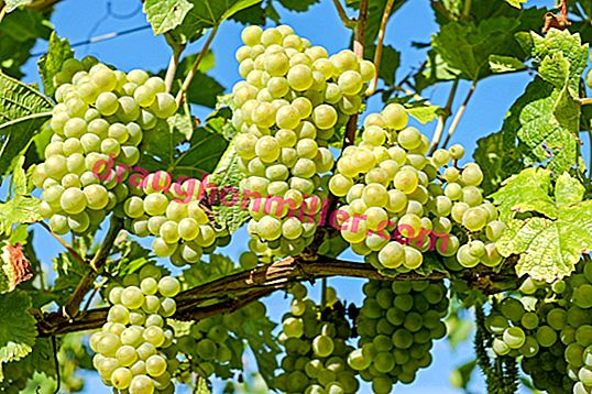 Grapes Delight: characteristics, methods of cultivation and methods of reproduction
