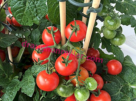 Tomatoes in the Urals: why it is not very difficult