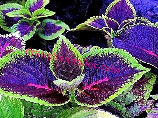Such a many-faced coleus: 50 photos of application in landscape design