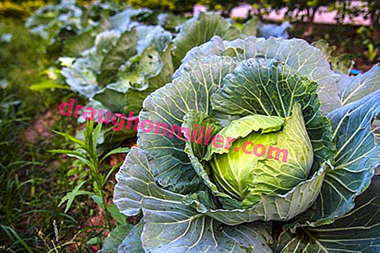 White cabbage: all the subtleties of growing and caring