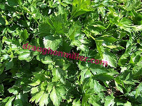 Celery: how to grow a rich harvest of herbs?