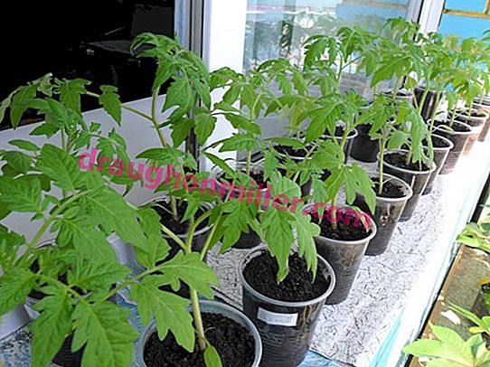 How to grow tomato seedlings in a city apartment: the experience of practitioners and tips for beginners