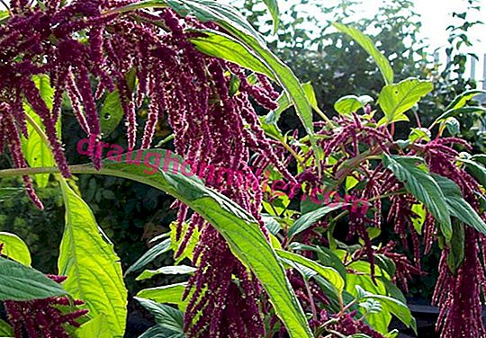 Lush colored panicles: 35 photos of amaranth in landscape design