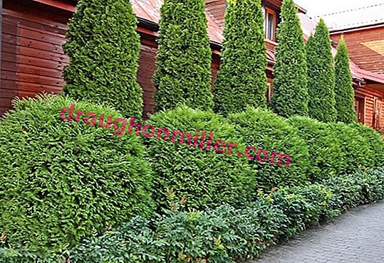 Evergreen thuja in landscape design: photos of the best application ideas
