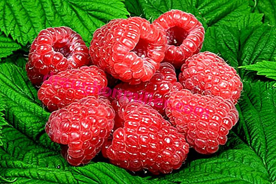 Raspberry Glen Ampl: secrets of the variety's popularity and its features