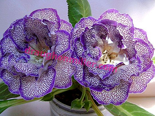 Reproduction gloxinia: an exciting lesson at home