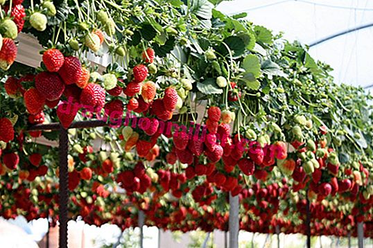 Growing strawberries in PVC pipes: non-standard, effective, beautiful