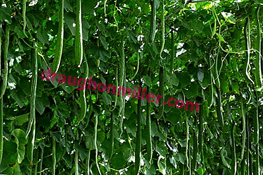 Chinese cucumber - an unusual kind of familiar vegetable