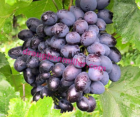 Galia - an early grape variety with delicious berries