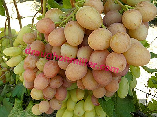 Gourmet early - sweet grapes with a floral aroma