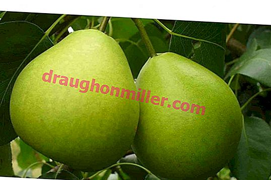 Favorite pear cultivation