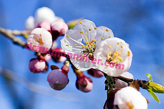 Apricot bloom: how and when the tree blooms, why there may be no flowers and what to do about it