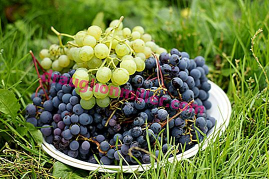 Siberian grapes are no longer exotic: how grapes ended up in Siberia, what varieties are suitable for growing in harsh climates